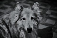 Senhora bonita do cão fotografia de stock