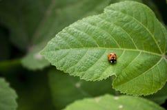 Senhora Bug Foto de Stock Royalty Free
