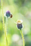 Senhora Bug Imagem de Stock