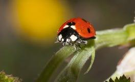 Senhora Bug Foto de Stock
