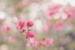 Senhora cor-de-rosa em meu jardim Fotografia de Stock Royalty Free