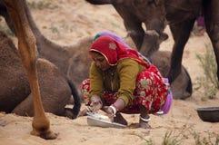 Senhora de Rajasthani que recolhe o tamborete do camelo Imagem de Stock