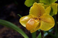 Senhora-deslizador, orquídea fotos de stock royalty free