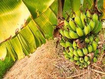 Senhora Finger Banana imagem de stock royalty free