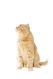 Senhora-gato Fotografia de Stock