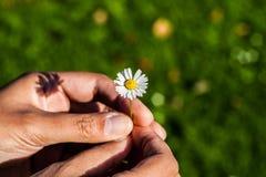 A senhora mantem a flor disponivel Fotos de Stock