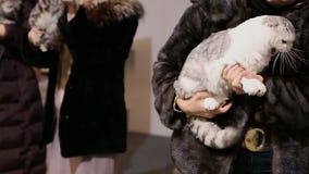 Senhora no casaco de pele que guarda o gato de cabelos curtos macio nas mãos, exposição do animal de estimação video estoque