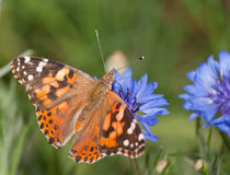 Senhora pintada, borboleta do cardui de Vanessa Imagens de Stock Royalty Free