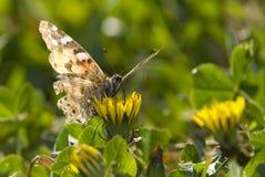Senhora pintada - borboleta - parte dianteira imagem de stock