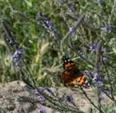 Senhora pintada Butterfly com as asas abertas na haste da planta com as flores amarelas no fundo imagem de stock royalty free