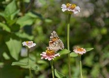 Senhora pintada Butterfly com asas fechados em um Zinnia imagens de stock royalty free