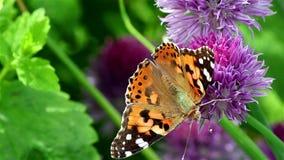 Senhora pintada Butterfly em uma flor filme
