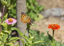 Senhora pintada Butterfly Flying sobre um canteiro de flores do Zinnia fotos de stock royalty free