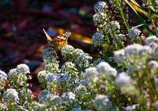 Senhora pintada Butterfly nas flores brancas com jardim verde e fundo vermelho do woodchip fotografia de stock