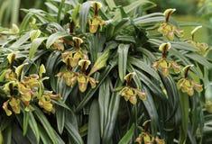 Senhora Slipper Orchid Fotografia de Stock