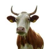 Senhora Vaca Fotos de Stock Royalty Free