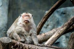 Senile Monkey sitting on branch Royalty Free Stock Photos