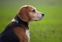 Senior adult beagle dog. Shot of a beagle dog taken in fields Royalty Free Stock Photos