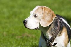 Senior adult Beagle Female Royalty Free Stock Photos
