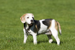 Senior adult Beagle Female Royalty Free Stock Image