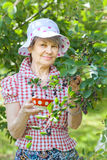 Senior adult female in garden standing near bushes Royalty Free Stock Photo