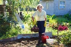 Senior adult picking potato in garden Stock Photography
