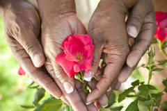 Senior African American Couple Hands & Flower. Close up of senior African American men & women couple hands holding a red rose flower in a summer garden Stock Photo