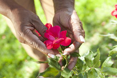 Senior African American Woman Holding Flower. Close up of senior African American woman's hands holding a red rose flower in a summer garden Stock Photo