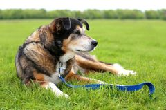 Senior Aged German Shepherd Border Collie Mix Breed Rescue Dog L. An 11 year old senior aged German Shepherd Border Collie Mix Breed dog is laying outside in the stock photo