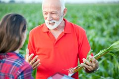 Senior agronomist talking to his young female colleague in a corn field. Gray haired senior agronomist talking to his young female colleague while visiting a stock images