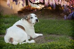 Senior American Staffordshire Terrier, also known as a pitbull dog, sitting on grass. An elderly pitbull is laying on the grass with a profile looking back to Royalty Free Stock Photography