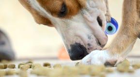 Senior amstaff dog  eating god food Royalty Free Stock Photo