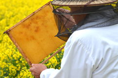 Senior apiarist working in the blooming rapeseed field Stock Photography
