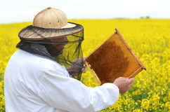 Senior apiarist working in the blooming rapeseed field Stock Photo
