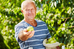 Senior at the apple harvest Royalty Free Stock Photo