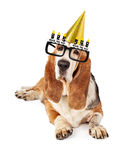 Senior Basset Hound Dog Laying Royalty Free Stock Photos
