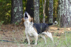 Senior Beagle Dog barking howling baying. Older female tri-color hound Beagle hunting rabbit dog. Animal Shelter adoption photography for Walton County Animal Royalty Free Stock Photography