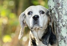 Senior Beagle Rabbit hunting hound dog Stock Photography