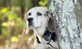 Senior Beagle Rabbit hunting hound dog Stock Images