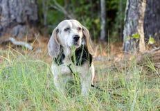 Senior Beagle Rabbit hunting hound dog Stock Photo