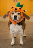 Senior beagle wearing a halloween pumpkin costume on his head Royalty Free Stock Photography
