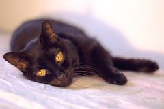 Senior black cat lying on the bed. No people stock image
