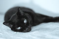 Senior black cat lying on the bed. No people royalty free stock photo