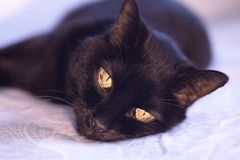 Senior black cat lying on the bed. No people royalty free stock image