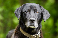 Senior Black Labrador mixed breed dog. Senior male black lab mixed breed dog with gray muzzle. Humane Society animal shelter adoption photography. Walton County Royalty Free Stock Photography