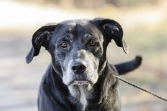 Senior Black Labrador Retriever dog with gray muzzle. Senior male old Black Labrador Retriever dog with gray hair muzzle wagging tail. Outdoor adoption stock images