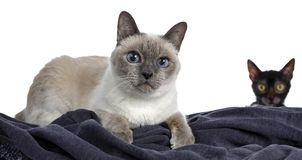 Senior blue point Thai cat, Isolated on white background. Senior blue point Thai cat laying down side ways on blue material, looking atcamera with blue wise stock photos