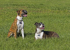 Senior Boxer dog and Puppy Boxer dog resting in a grassy field. Stock Image