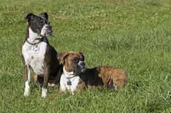 Senior Boxer dog and Puppy Boxer dog resting in a grassy field. Royalty Free Stock Photo
