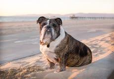 Senior bulldog sits on the sandy beach by a bikepath. Senior bulldog wearing a collar with tags  sits on the sandy beach by a bike path at the ocean. It is Stock Photos